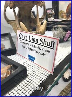 CAVE LION SKULL Panthera spelaea DINOSAUR FOSSIL PIRATE GOLD COINS JURASSIC