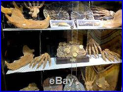 Cave Bear Jaw Skeleton Authentic Dinosaur Bones Fossil Pirate Gold Coins Treasur