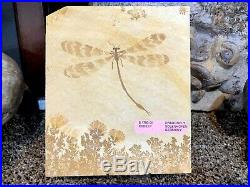 Dragonfly Fossil Pirate Gold Coins Treasures Of The Jurassic Dragon Fly
