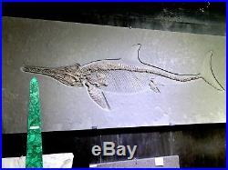 ICHTHYOSAUR FOSSIL 75x31 MARINE REPTILE PIRATE GOLD COINS JURASSIC Sticker $264k