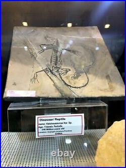 Keichousaurus Fossil Home Decor Wall Display Dinosaur Pirate Gold Coins Jurassic