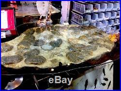 Trilobite Glass Table Sticker $73k Fossil Pirate Gold Coins Jurassic Dinosaur
